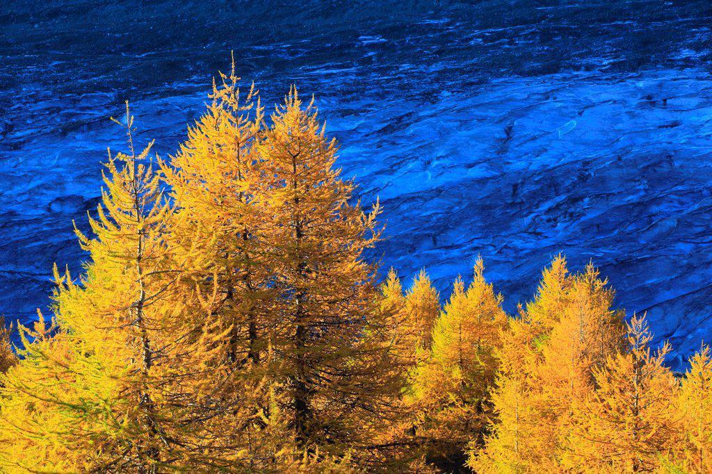 Aletsch, Aletsch glacier, Aletsch area, Aletsch glacier, mountains, Alps, cutting, part, autumn, colors, larch, larches, larch wood, Unesco, world heritage, Valais, Switzerland, Europe : Stock Photo