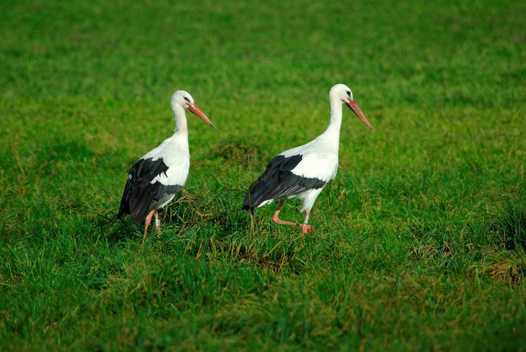 Stock Photo: 1597-147075 Switzerland, St. Gallen, avian, wading birds, ciconiiformes, storks, white stork, ciconia ciconia, hunt