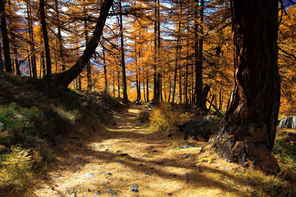 Stock Photo: 1597-147184 Mountain way, footpath, autumn, colors, larch, larches, larch wood, Lötschental, sunshine, valley, forest way, Valais, Switzerland, Europe, footpath, nature, autumn, wood, sunny