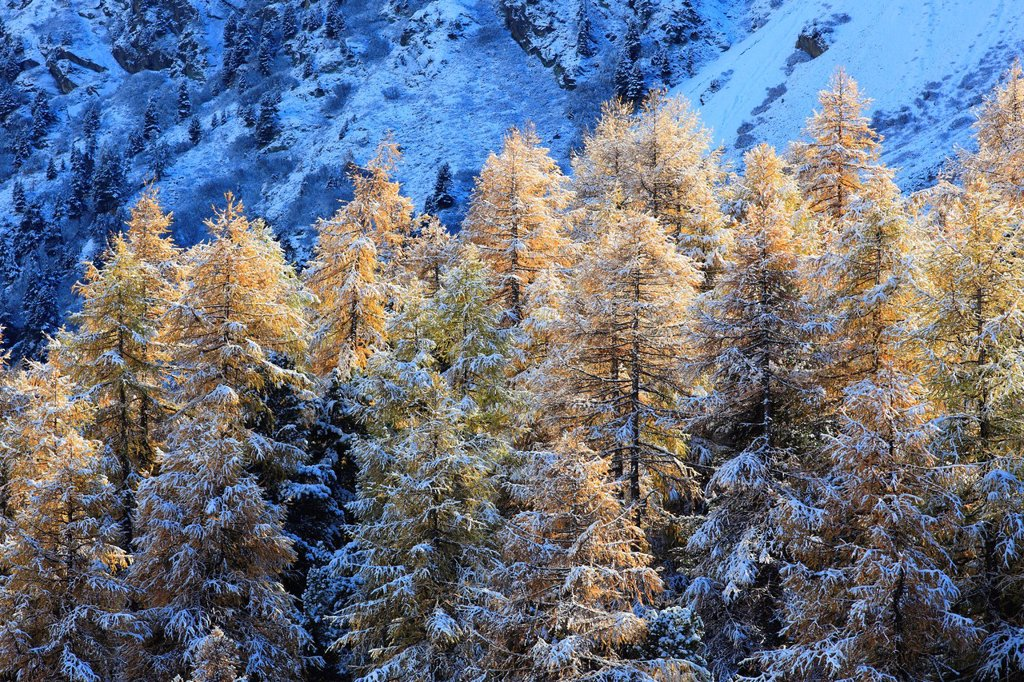 Stock Photo: 1597-147236 Arolla, Arolla valley, Arollatal, mountains, view, cutting, part, larch, larches, fresh, snowfall, snow, blizzard, valley, Valais, Switzerland, Europe, winter, panorama