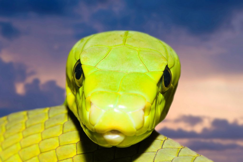 Stock Photo: 1597-147603 Green Mamba, Mamba, Mambas, Snake, Snakes, serpent, serpents, Reptile, Reptiles, venomous, poison, poisonous, cobra, danger, dangerous, deathly, highly toxic, Animal, Animalia, Chordata, Vertebrata, Reptilia, Squamata, Serpentes, Elapidae, venom, risk, ki. Green Mamba, Mamba, Mambas, Snake, Snakes, serpent, serpents, Reptile, Reptiles, venomous, poison, poisonous, cobra, danger, dangerous, deathly, highly toxic, Animal, Animalia, Chordata, Vertebrata, Reptilia, Squamata, Serpentes, Elapidae, ven