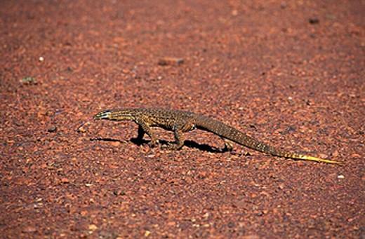 Goanna, Karijini, national park, Western Australia, lizard, reptile, animal, desert : Stock Photo