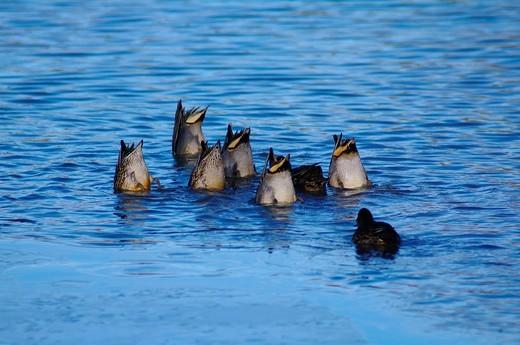 Stock Photo: 1597-149373 Swiss, St. Gallen, Switerland, avian, waterfowl, geese, goose, duck, ducks, dabbling duck, common teal, Anas crecca, the dive