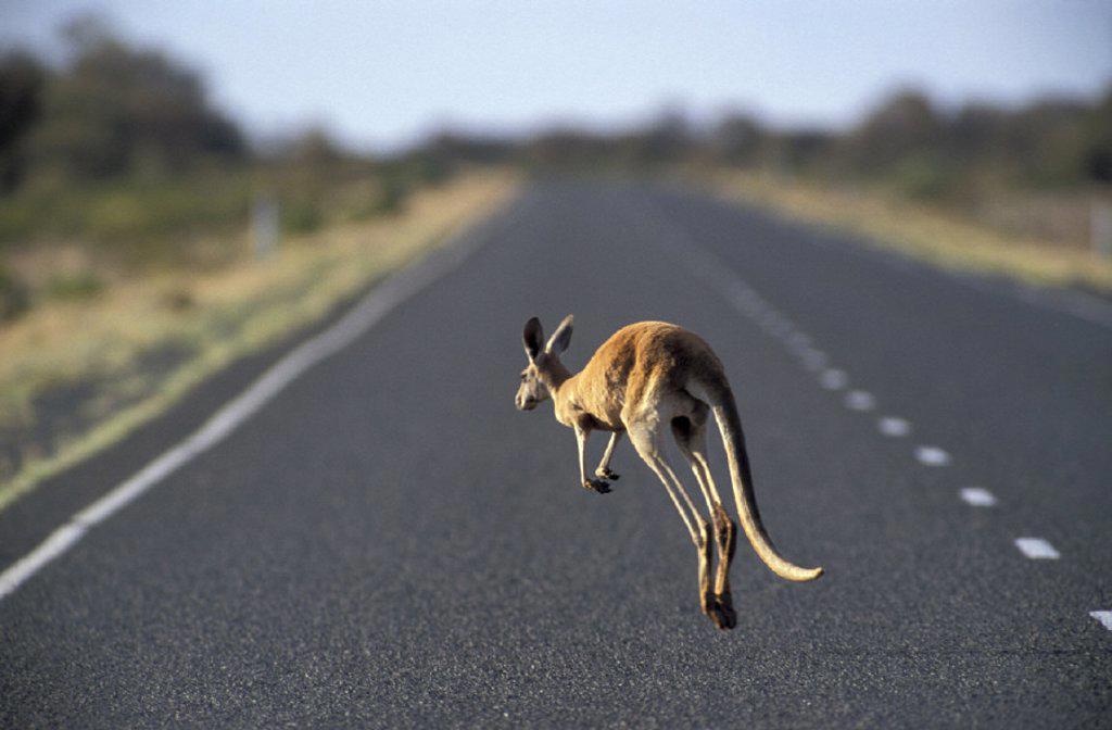 Stock Photo: 1597-14986 Australia, Macropus rufus, Red Kangaroo, South Australia, animal