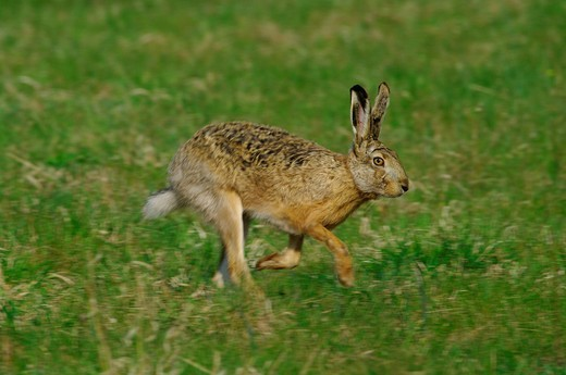 Austria, Burgenland, mammal, rabbit, genuine rabbit, hare, Lepus europaeus, field, motion : Stock Photo