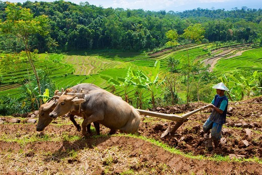 Selogriyo, Indonesia, Asia, Java, rice fields, rice, cultivation, agriculture, rice terraces, agriculture, cage, water buffalo, plow : Stock Photo