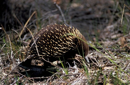 Australia, Short beaked Echidna, Tachyglossus aculeatus, animal : Stock Photo
