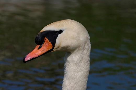 Stock Photo: 1597-151660 Swiss, Switzerland, St. Gallen, avian, waterfowl, cygnus, swan, mute swan, cygnus olor, breed, ckicken, egg