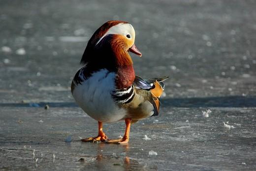 Swiss, Graubünden, avian, waterfowl, geese, goose, duck, ducks, dabbling duck, Aix galericulata, winter, standing : Stock Photo