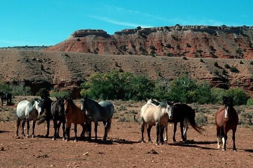 wild horses, horses, prairie, USA, animals : Stock Photo