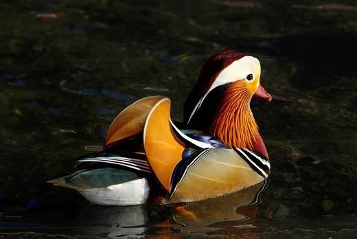 Swiss, Graubünden, avian, waterfowl, geese, goose, duck, ducks, dabbling duck, Aix galericulata, floating : Stock Photo