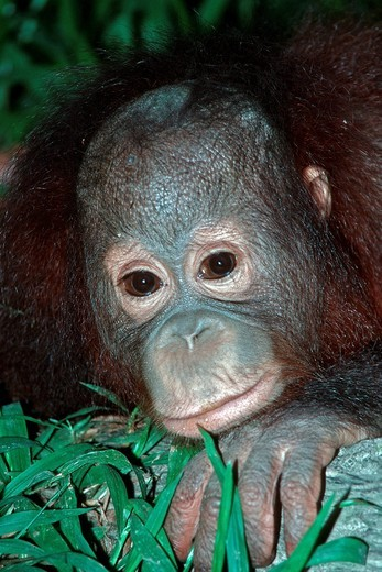 Stock Photo: 1597-152603 orang_utan, ape, animal, head, pongo pygmaeus