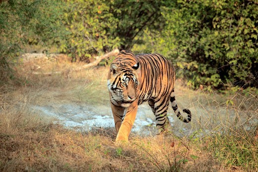 Stock Photo: 1597-152903 Asia, Asian, India, Indian, South Asia, South Asian, Subcontinent, tourist attraction, travel, destinations, world locations, Animal, animals, wildlife, nature, forest, Ranthambore National Park, Rajasthan, Wildlife, Royal Bengal tiger, Panthera tigris ti. Asia, Asian, India, Indian, South Asia, South Asian, Subcontinent, tourist attraction, travel, destinations, world locations, Animal, animals, wildlife, nature, forest, Ranthambore National Park, Rajasthan, Wildlife, Royal Bengal tiger, Panthe