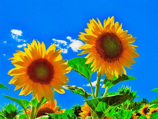 Flowers, plants, sunflowers, blossoms, flourishes, field, sunflower field, sky, blue, clouds, symbol, two : Stock Photo