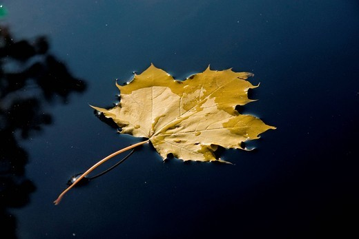 Europe, Germany, Bavaria, Upper Bavaria, Traunstein, Europe, tree, leaf, maple, autumn, water, maple leaf in, water, fall maple leaf, leaf, fall, leaf, in, water, back light, sun, glitter, reflection, water reflection, one, 1, one, yellow, leaf, lonelines. Europe, Germany, Bavaria, Upper Bavaria, Traunstein, Europe, tree, leaf, maple, autumn, water, maple leaf in, water, fall maple leaf, leaf, fall, leaf, in, water, back light, sun, glitter, reflection, water reflection, one, 1, one, yellow, lea : Stock Photo