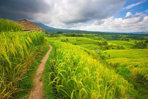 Jatiluwih, Indonesia, Asia, Bali, rice fields, rice, cultivation, agriculture, rice terraces, agriculture, clouds, way : Stock Photo
