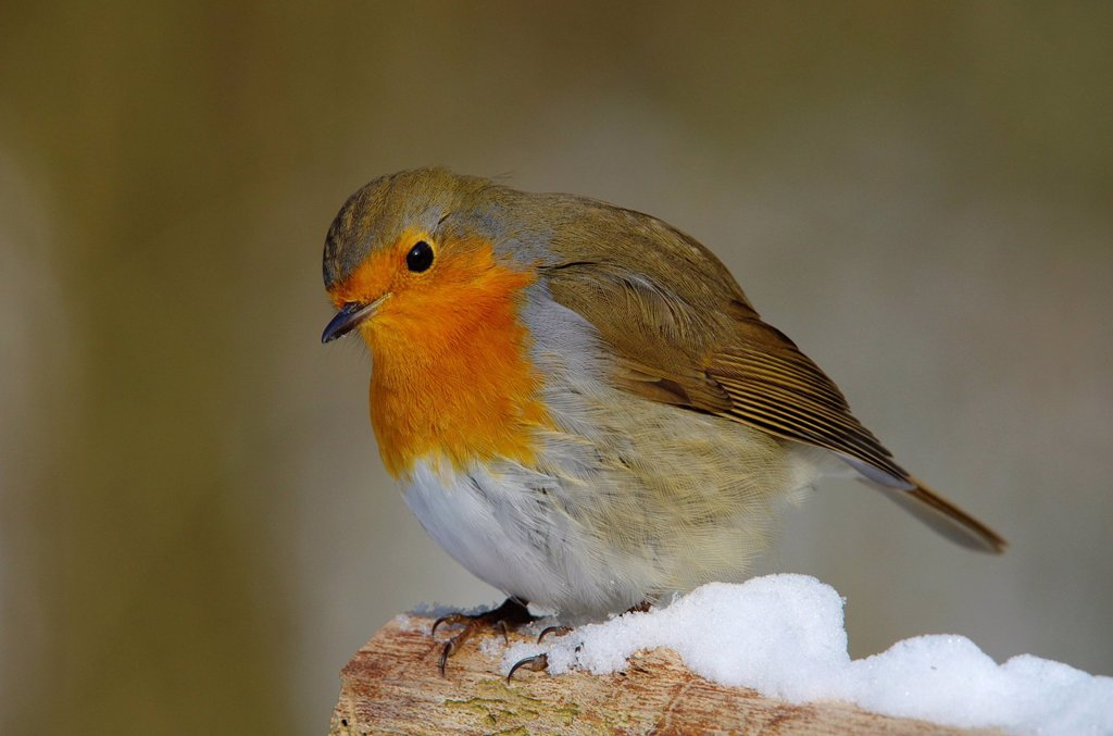 Switzerland, Europe, Rheineck, bird, songbird, bir, robin, Erithacus rubecula, forest, little : Stock Photo