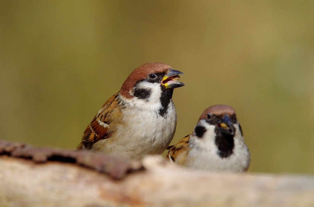 Stock Photo: 1597-159877 Switzerland, Europe, Rheineck, bird, songbird, bir, sparrow, Eurasian tree sparrow, forest, winter
