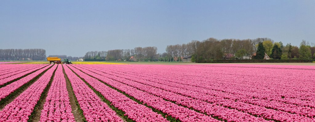 Netherlands, Holland, Europe, Bant, landscape, flowers, spring, bulb, field, tulips, Bulb field, : Stock Photo