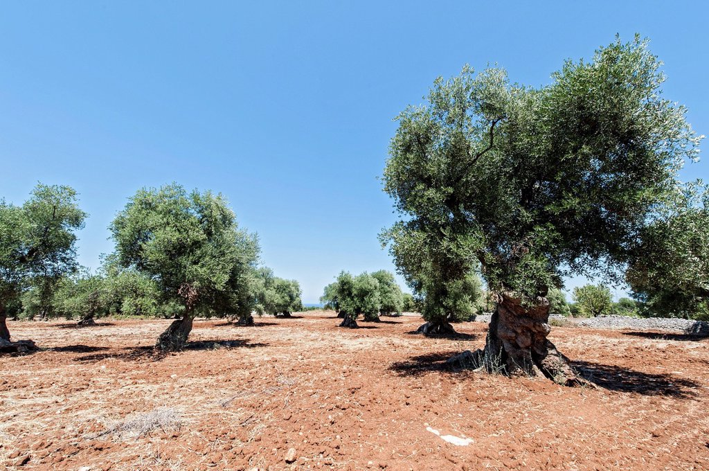 Italy, Puglia, Europe, Olive trees, old, trees, Olive, agriculture : Stock Photo