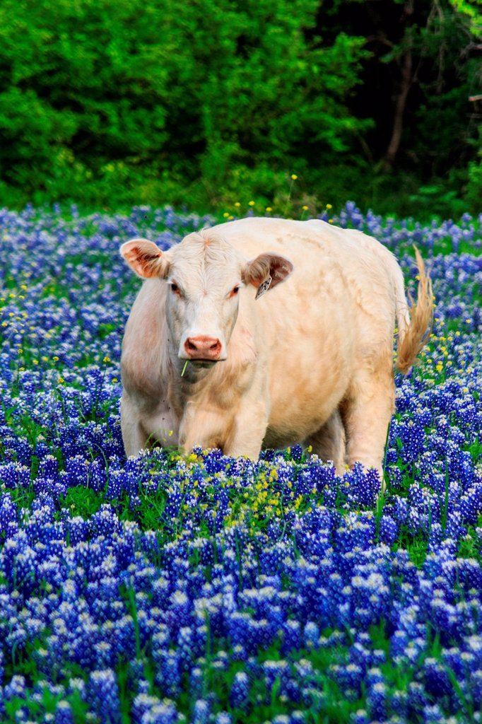 Stock Photo: 1597-161984 Ennis, Lupinus texensis, Texas, USA, biennial plant, bluebonnets field, spring, plants, cow, agriculture,