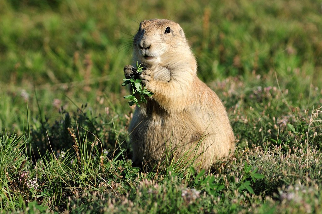Stock Photo: 1597-163119 plains, prairie, Black tailed, Prairie Dog, genus cynomys, animal, Cynomys ludovicianus, Devils Tower, National Monument, Wyoming, USA, United States, America, North America, cute, furry animal, cuddly, eating, grass