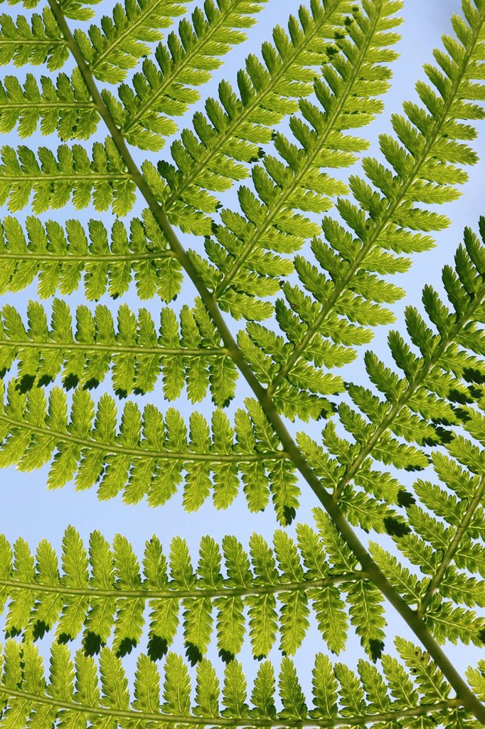 Leaf, leaves, detail, fern, nature, back light, background, macro, pattern, structure, close_up, plant, Switzerland, Seleger moor, summer, Zurich, abstract, graphical, concepts, green : Stock Photo