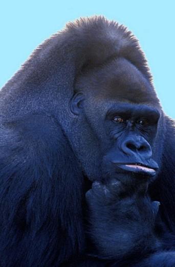 Stock Photo: 1597-16404 animal, animals, gorilla gorilla, Lowlands gorilla, monkeys, portrait, to primates