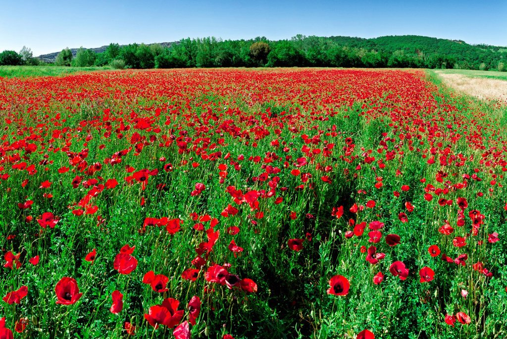 Field, poppy, red, green, Volterra, Italy, Europe, Tuscany, Toscana, : Stock Photo