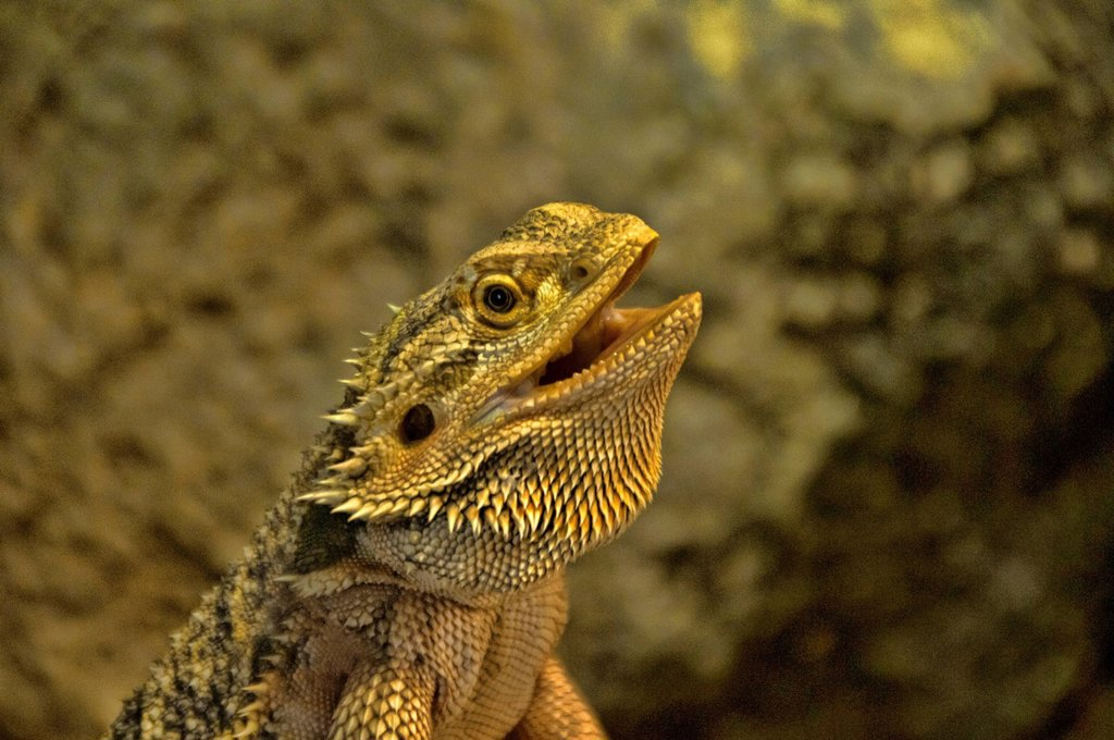 Stock Photo: 1597-164312 bearded dragon, pogona, dragon, lizard, animal, USA, Vereinigte Staaten, Amerika,