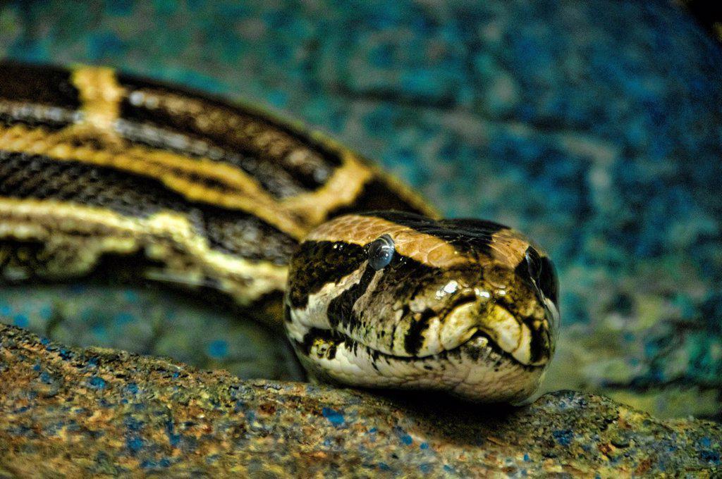 burmese python, python molurus, python, snake, USA, Vereinigte Staaten, Amerika, animal : Stock Photo