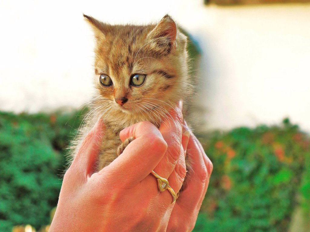 Animal, cat, young, animal, kitten, tiger, brown, hands, security : Stock Photo
