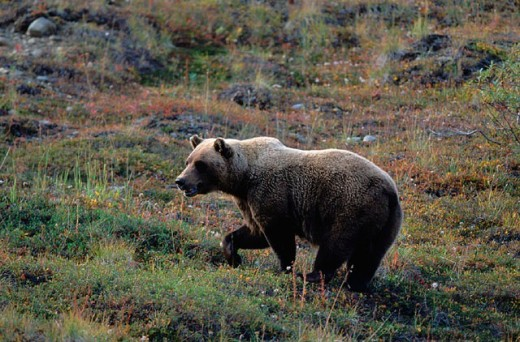 Alaska, animal, animals, autumn, bear, Denali, national park, Grizzly, Grizzly bear, in tundra, mammal, one, portrai : Stock Photo