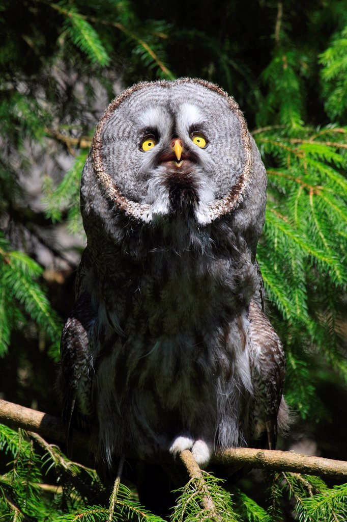 1, eye, beard, whiskers, beard owl, Captive, owl, plumage, owl, portrait, Switzerland, animal park, bird, zoo, branch, one, sit, yellow, gray, largely, green, strix nebulosa, great grey owl, : Stock Photo