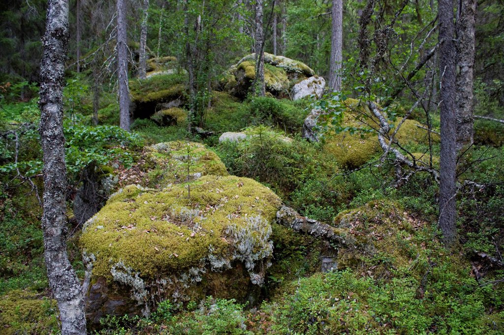Stock Photo: 1597-165069 Scandinavia, Finland, north, Europe, Northern Europe, country, vacation, wood, forest, wood, forest, forest soil, moss, wilderness, jungle,