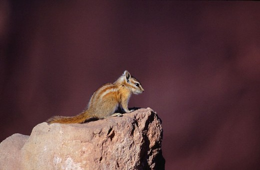 animal, animals, Arches, national park, Colorado Chipmunk, Colorado squirrel, Colorado stripe squirrel, desert, mamm : Stock Photo