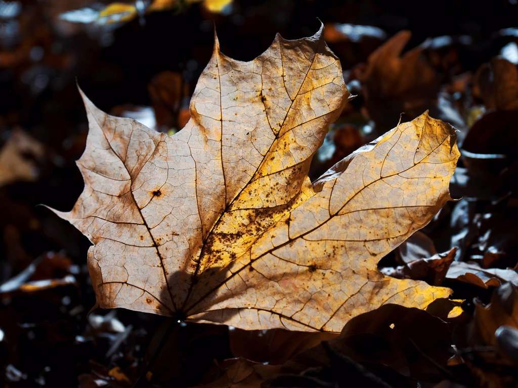 Stock Photo: 1597-166672 Acer platanoides, Norway maple, acer, sycamore, leaf, tree, leaf, yellow, autumn, fall, autumn, canton Bern, forest, wood, Switzerland, Schärmenwald, fall colors, colours, Indian summer, autumn colors, colours, fall leaf, backlight