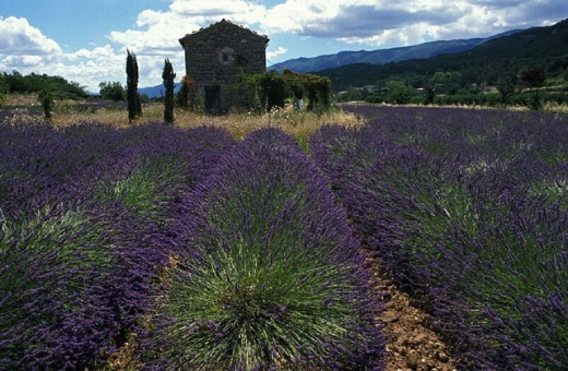 Stock Photo: 1597-16740 agriculture, field, fields, France, Europe, herbs, home, house, Lavender, Provence, small house, spices, tops