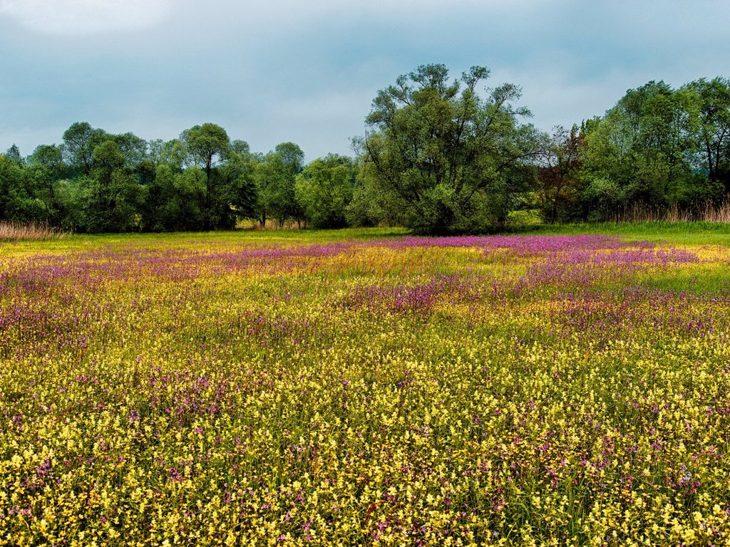 Stock Photo: 1597-168477 Meadow, Pasture, alluvial forest, flower carpet, flower meadow, blossom, spring, Hasplen, canton, Zug, ragged robin, Maschwanden, Allmend, wet meadow, nature, Switzerland, Europe, Silene flos_cuculi, marshy meadow