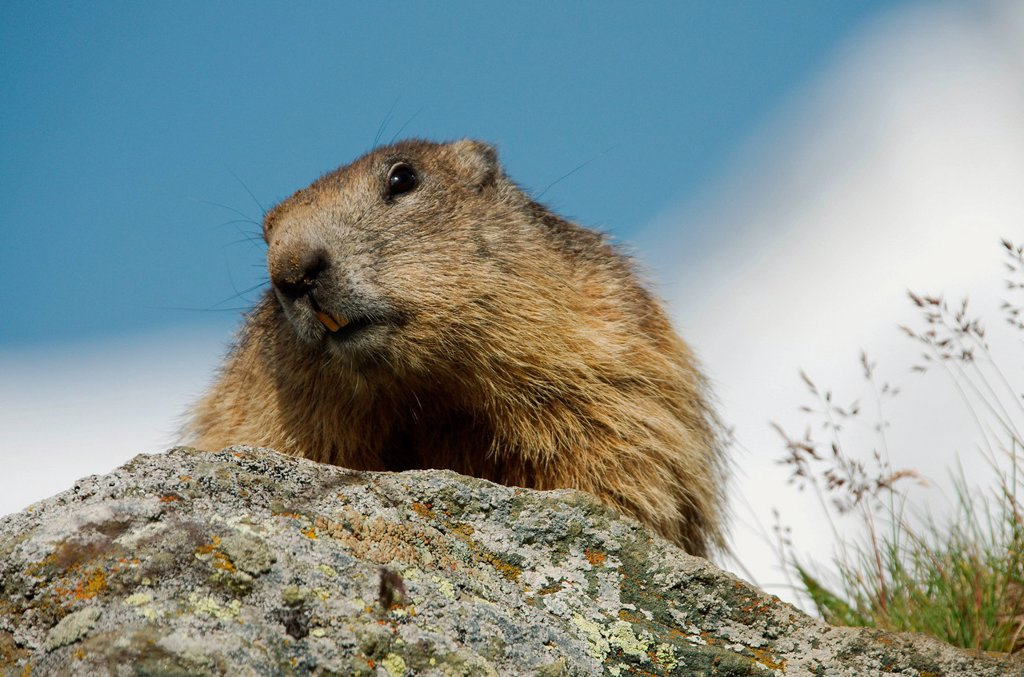 Stock Photo: 1597-168917 Austria, Kärnten, mamal, alps, animal, marmot, squirrel, rodent, earthwork, alps