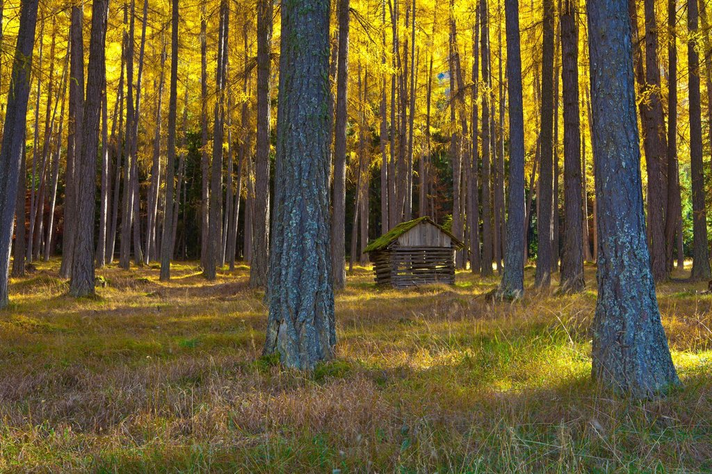 Stock Photo: 1597-169144 Austria, Europe, Tyrol, Tirol, Mieming, chain, plateau, Obsteig, larch meadows, larches, wood, forest, nature, Stadel, man_made, cultural, landscape, Yellow, wood,