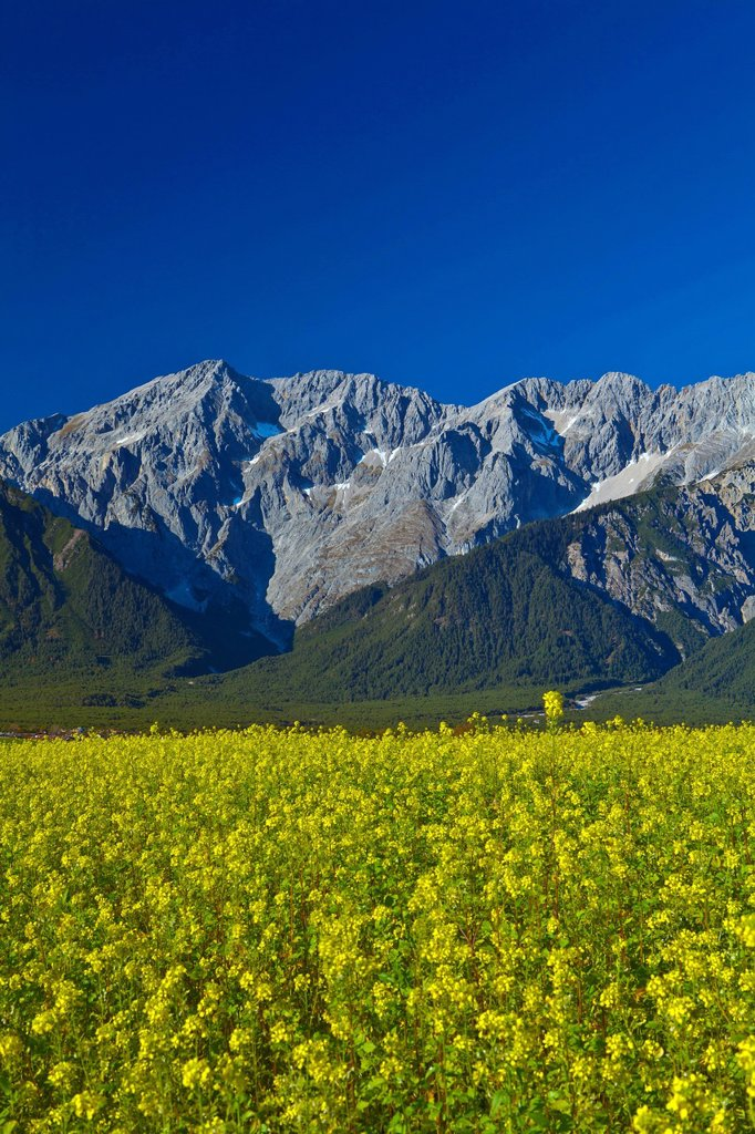 Austria, Europe, Tyrol, Tirol, Mieming, chain, plateau, Mieming, rape field, Yellow, blue, mountains, Hochplattig, Mieming, chain, lime alps, Alps, vacation, travel, traveling, agriculture, oil fruit, high, nature, rest, silence, calmness, rest, look, pan. Austria, Europe, Tyrol, Tirol, Mieming, chain, plateau, Mieming, rape field, Yellow, blue, mountains, Hochplattig, Mieming, chain, lime alps, Alps, vacation, travel, traveling, agriculture, oil fruit, high, nature, rest, silence, calmness, res : Stock Photo
