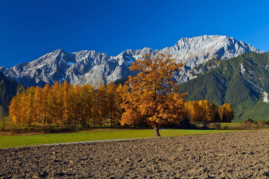 Stock Photo: 1597-170022 Austria, Europe, Tyrol, Tirol, Mieming, chain, plateau, Mieming, meadows, field, fallow land, oak, tree, orange, blue, sky, larches, mountains, Mieming, chain, Griesspitzen, Hochplattig, lime alps, autumn, nature, rest, silence, calmness, rest, traveling,. Austria, Europe, Tyrol, Tirol, Mieming, chain, plateau, Mieming, meadows, field, fallow land, oak, tree, orange, blue, sky, larches, mountains, Mieming, chain, Griesspitzen, Hochplattig, lime alps, autumn, nature, rest, silence, calmness, rest
