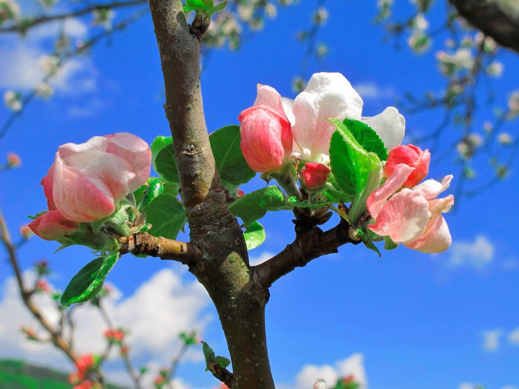 Stock Photo: 1597-170357 Blossoms, Flourishes, apple blossoms, branch, leaves, white, pink, sky, detail