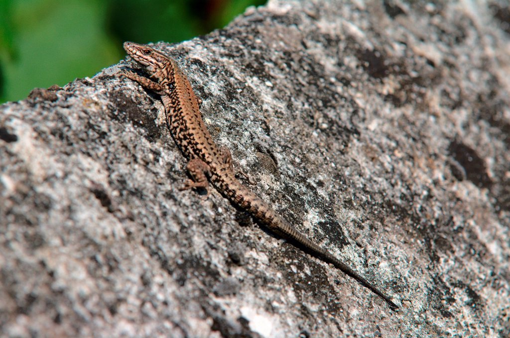 Stock Photo: 1597-171618 Switzerland, Europe, Graubünden, reptiles, lizards, wall lizard, Podarcis muralis, wall