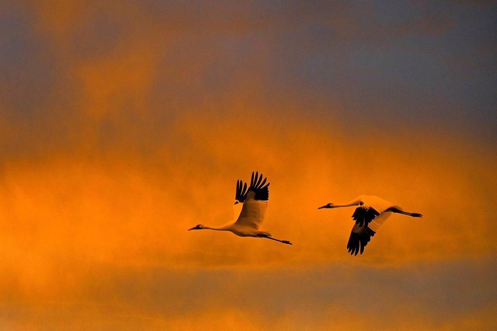 Stock Photo: 1597-173048 whooping crane, grus Americana, Texas, USA, United States, America, flying, birds, crane, sunset