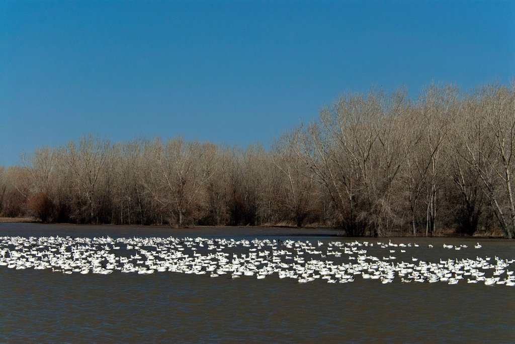 Stock Photo: 1597-173059 snow geese, geese, chen caerulescens, bosque del apache, national, wildlife, New Mexico, refuge, USA, United States, America, birds