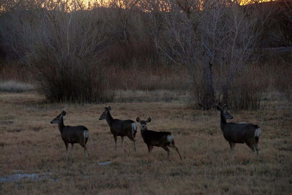 Stock Photo: 1597-173066 bosque del apache, national, wildlife, refuge, New Mexico, USA, United States, America, mule deer, deer, animal