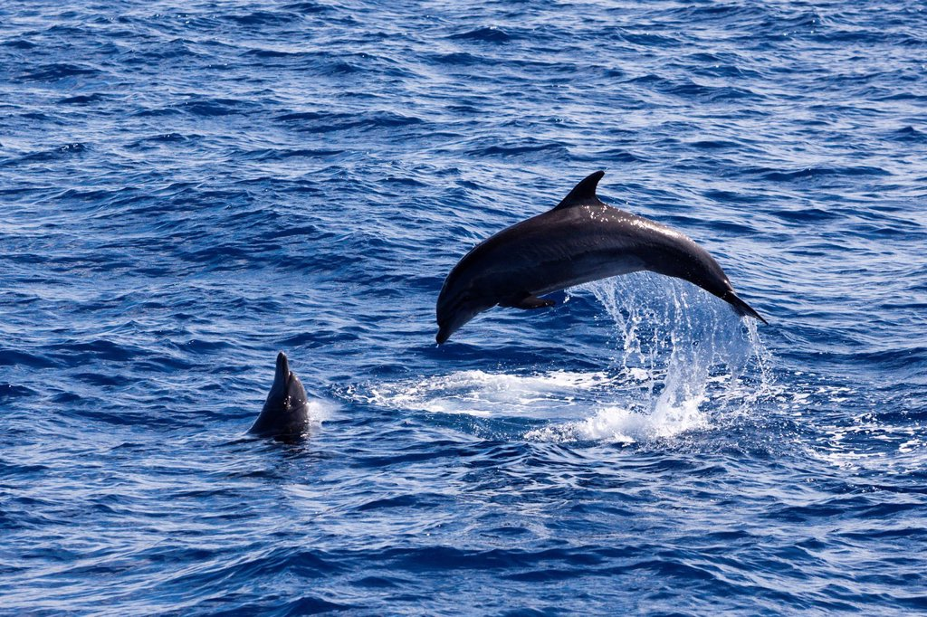 Jumping Dolpnins, Tursiops truncatus, Indian Ocean, Maldives : Stock Photo