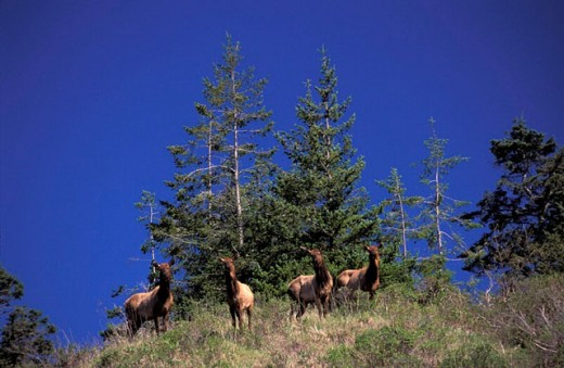 Elk, Oregon, Oregon Coast, USA, America, United States, Wapiti, Cervus elaphus, Samuel H. Boardman, State Park, anim : Stock Photo